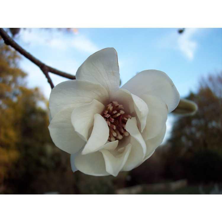 Magnolia ×loebneri 'Merrill' - Loebner magnolia