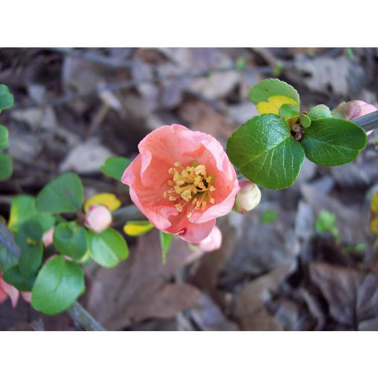 Chaenomeles japonica Hime
