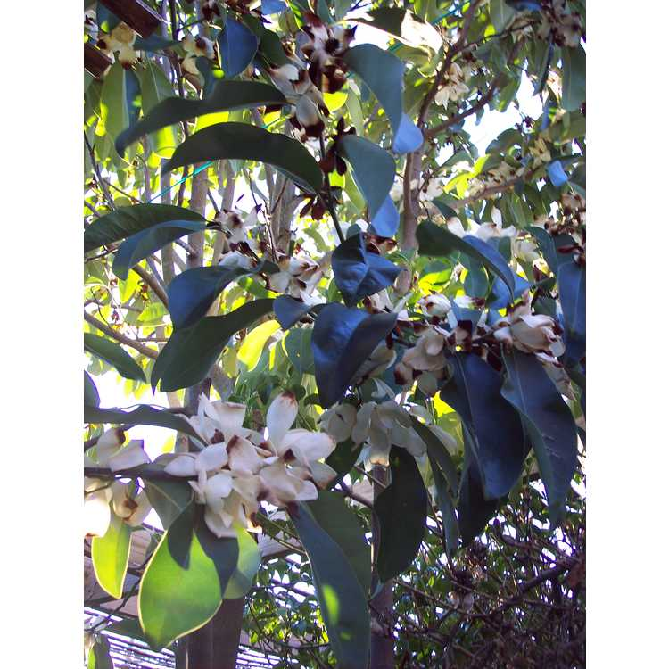 Magnolia cavaleriei