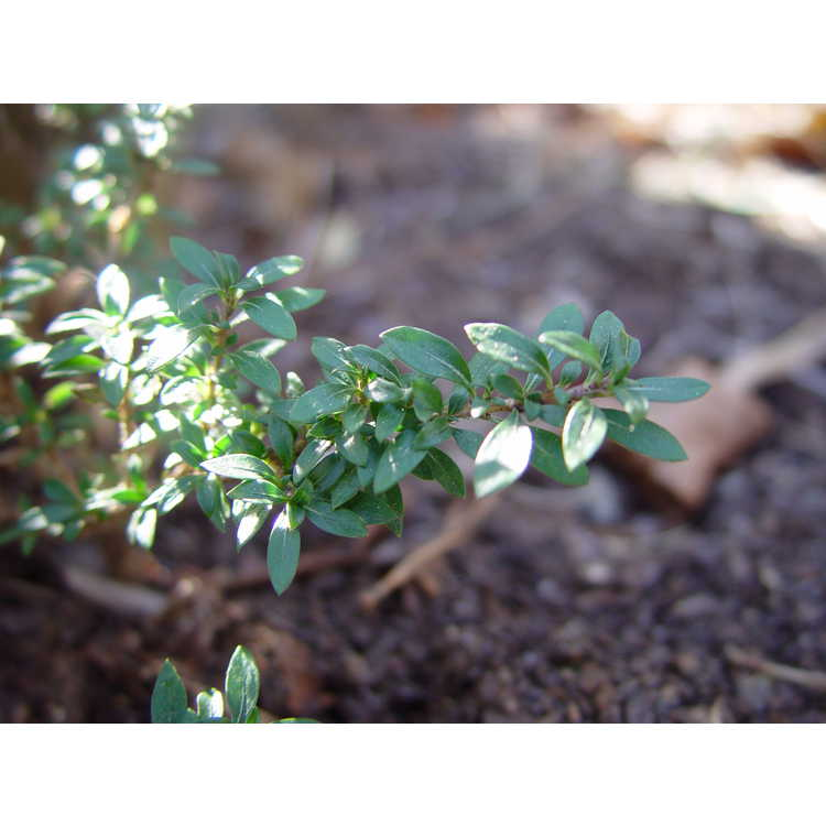 Serissa japonica 'Kyoto' - Japanese snow rose