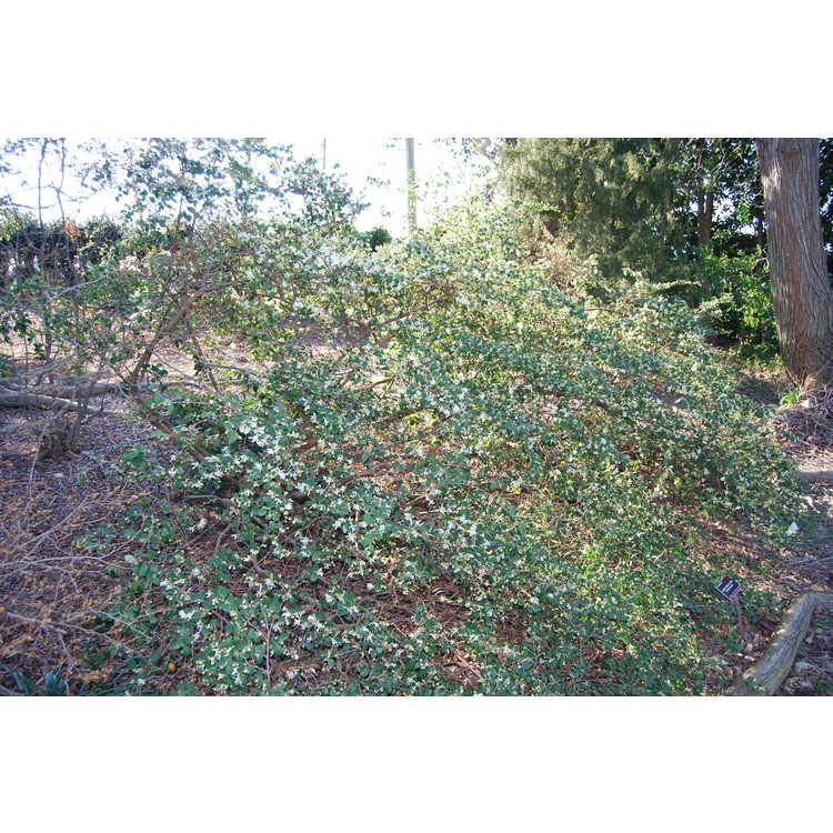 Loropetalum chinense chinense