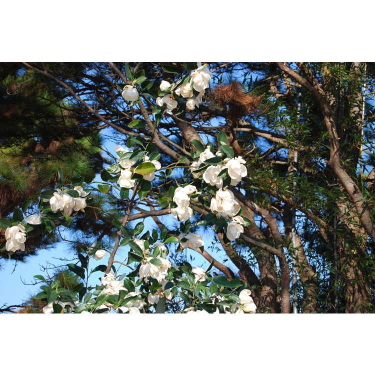 Magnolia maudiae - smiling forest michelia