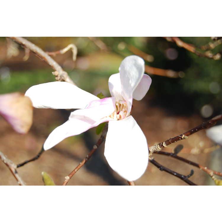 Magnolia ×loebneri 'Neil McEachern' - Loebner magnolia