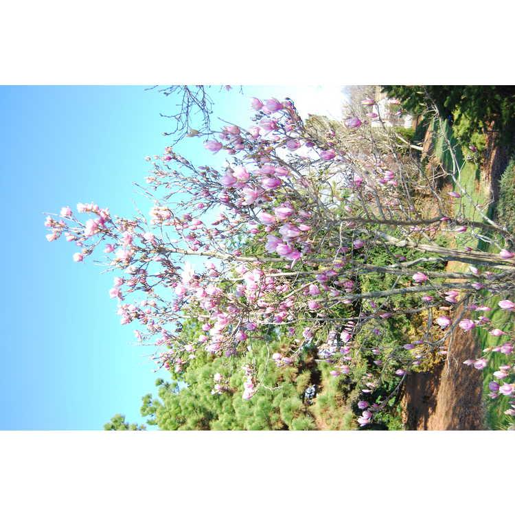Magnolia ×soulangeana 'Lilliputian' - saucer magnolia