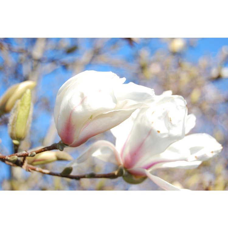 Magnolia ×soulangeana 'Speciosa' - saucer magnolia