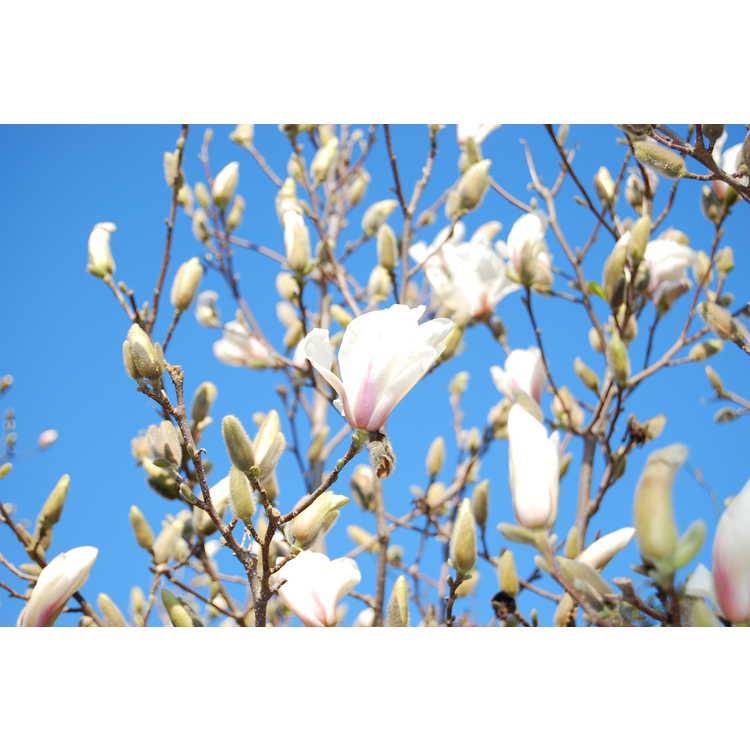 Magnolia soulangeana Speciosa