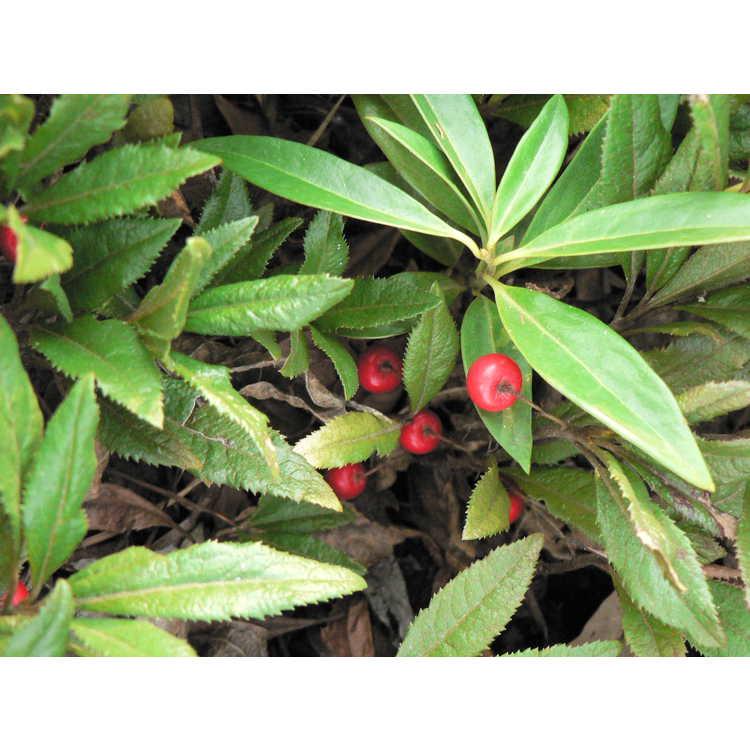 Ardisia japonica 'Chirimen' - dwarf marlberry