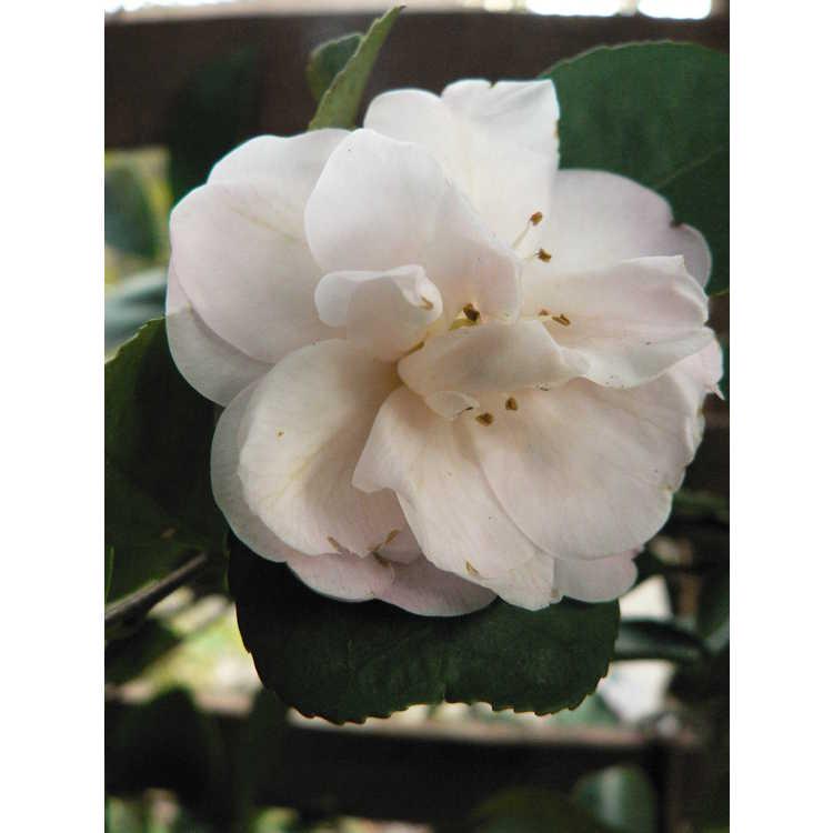 Camellia 'Cinnamon Cindy' - Ackerman hybrid camellia
