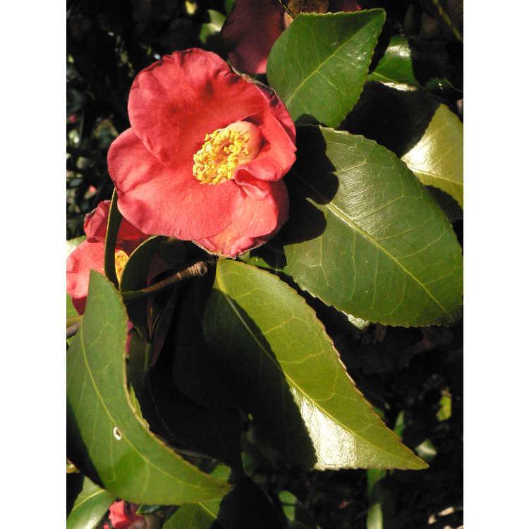 Camellia japonica (Korean germplasm) - Japanese camellia