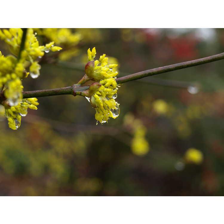 Cornus officinalis 'Spring Glow' - Cornelian cherry