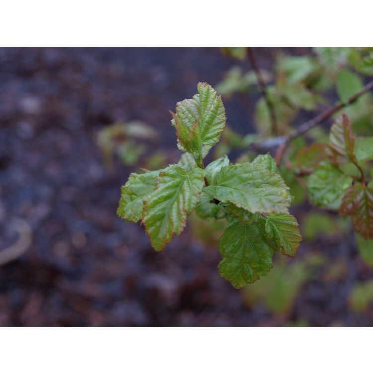 Acer tataricum subsp. semenovii