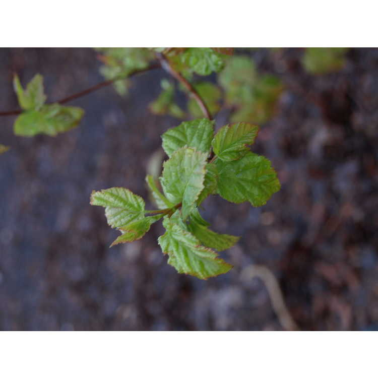 Acer tataricum subsp. semenovii - Turkestan shrub maple