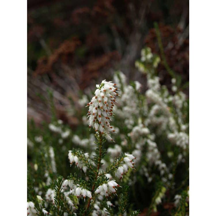 Erica ×darleyensis 'White Perfection'