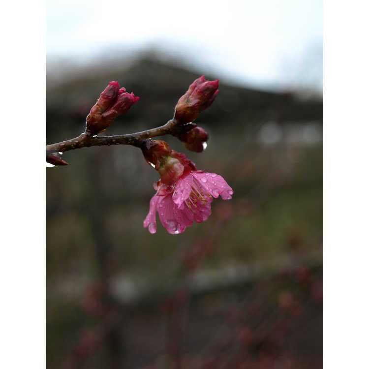 Prunus 'First Lady' - hybrid flowering cherry