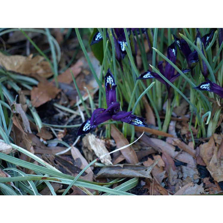 Iris [Reticulata Group] 'Pauline' - netted iris