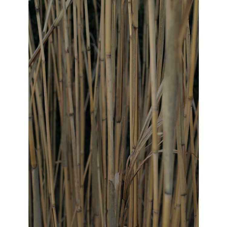 Miscanthus floridulus