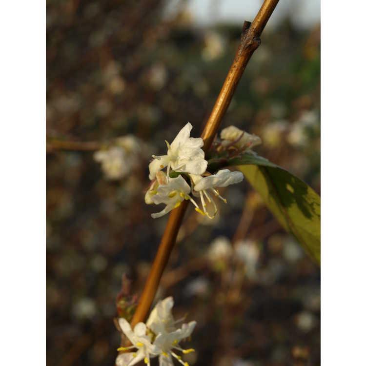 Lonicera ×purpusii 'Winter Beauty'