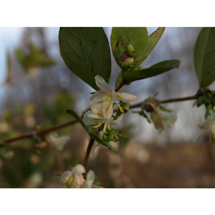 Lonicera fragrantissima - winter honeysuckle