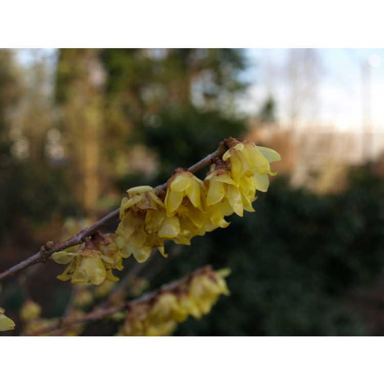 Chimonanthus praecox 'Luteus'