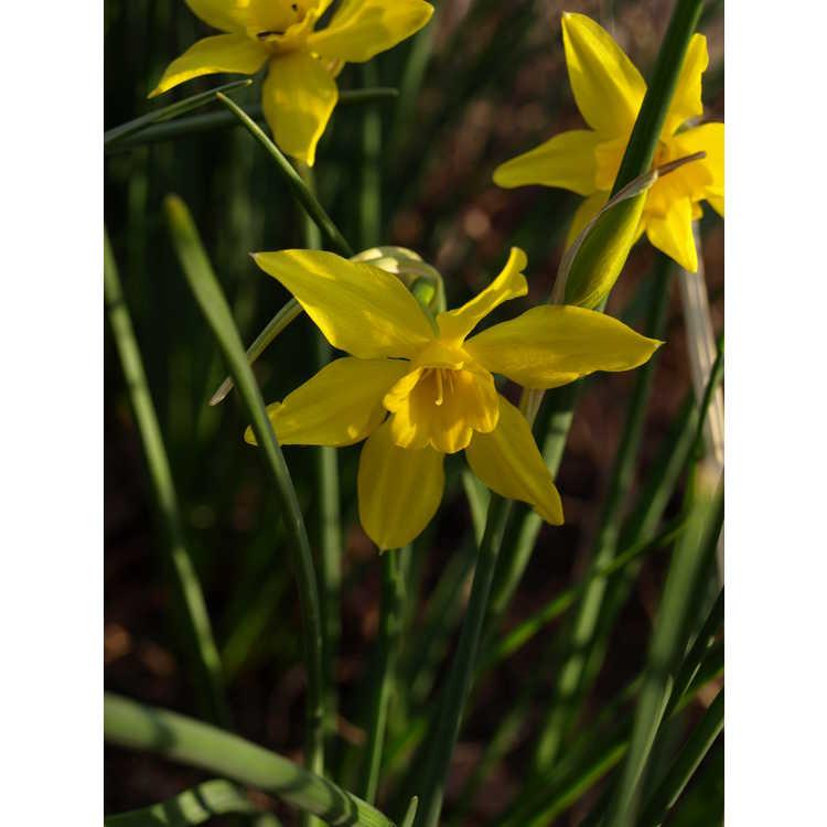 Narcissus ×odorus 'Flore Pleno'