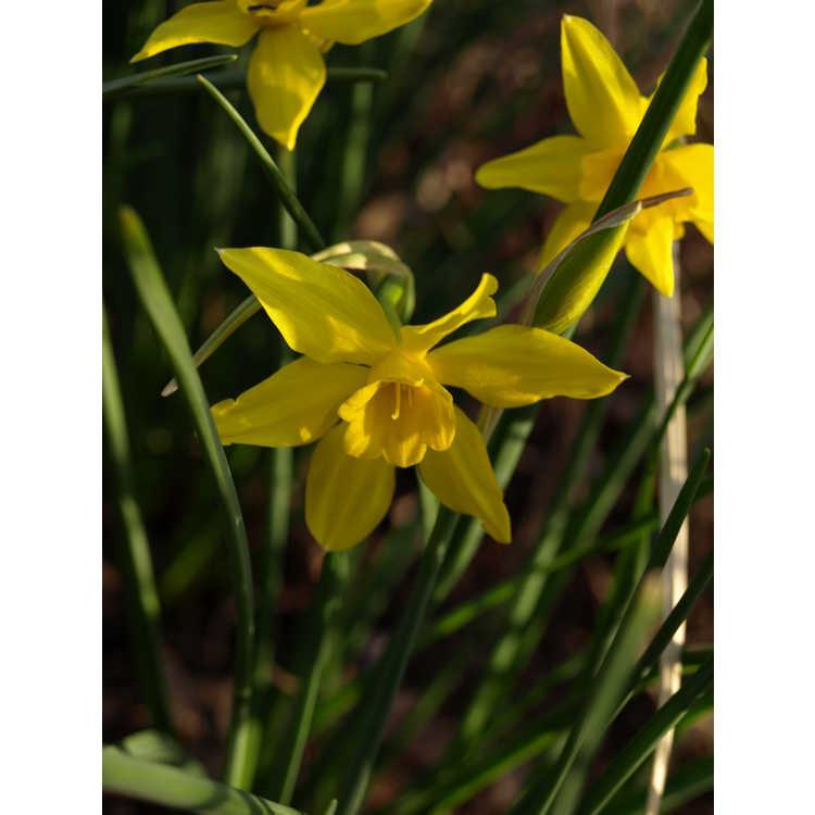 Narcissus ×odorus 'Flore Pleno' - daffodil