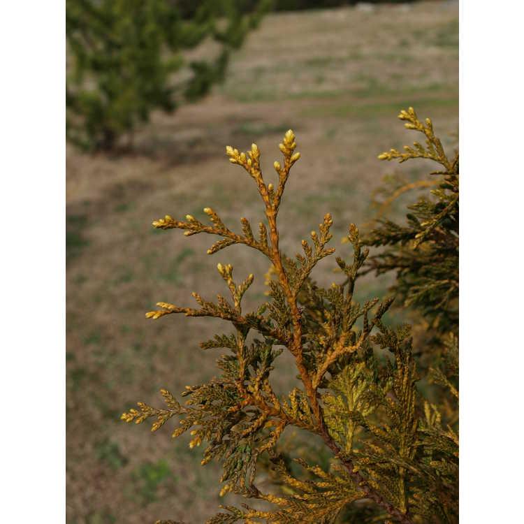 Thuja occidentalis 'George Washington' - golden American arborvitae
