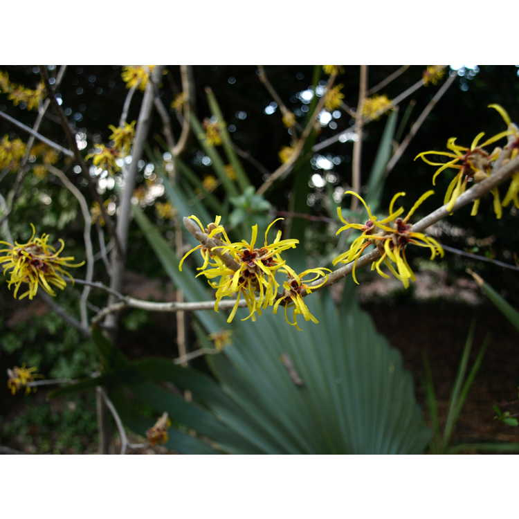 Hamamelis mollis Early Bright