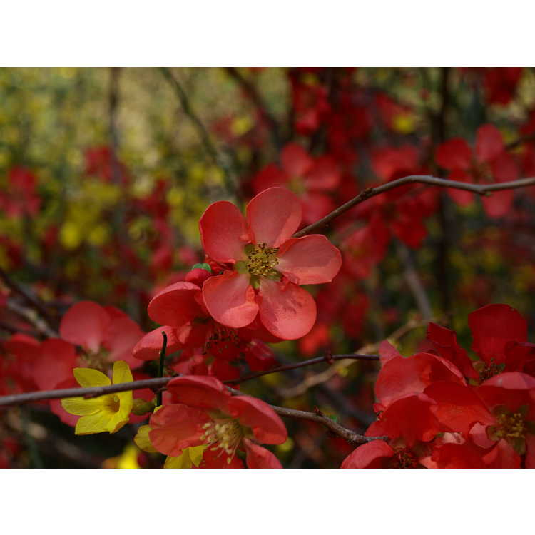 Chaenomeles ×superba 'Texas Scarlet' - hybrid flowering quince