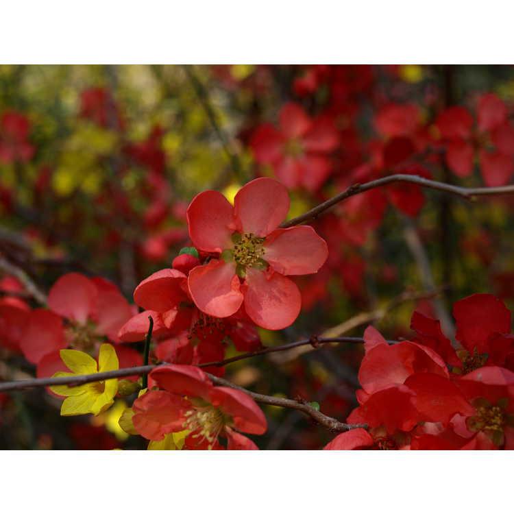 Chaenomeles ×superba 'Texas Scarlet' - hybrid flowering quince