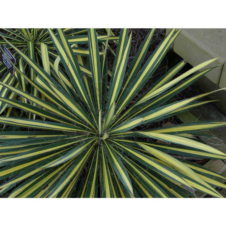 Yucca flaccida 'Color Guard' - gold-stripe weak-leaf yucca