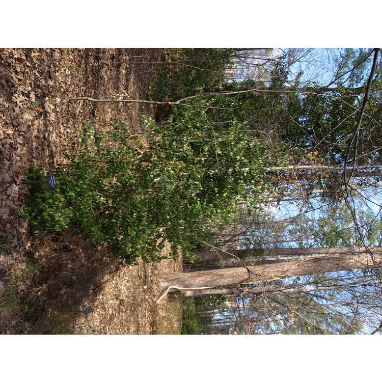 Lindera strychnifolia - golden spicebush
