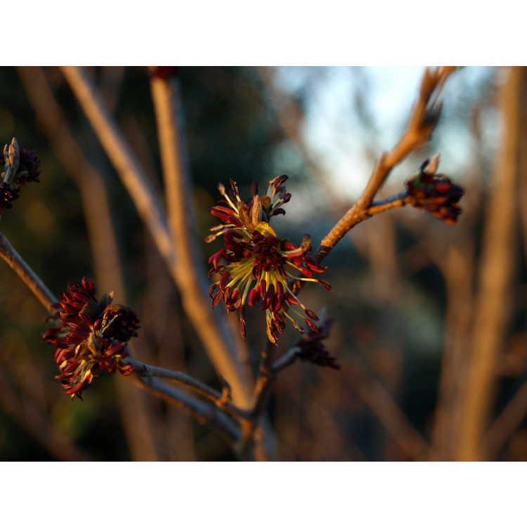 ×Sycoparrotia semidecidua - hybrid fig-hazel