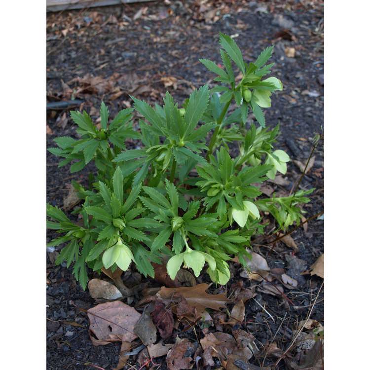 Helleborus ×hybridus × H. multifidus subsp. hercegovinus