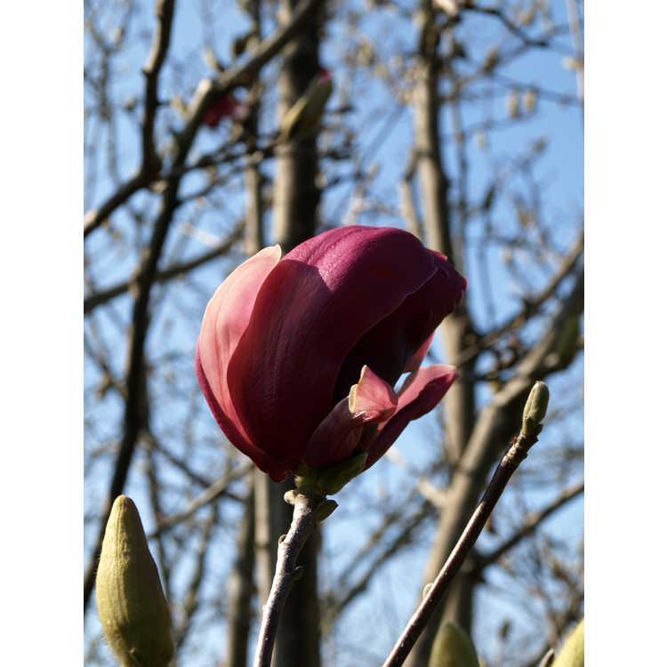 Magnolia ×soulangeana 'Picture' - saucer magnolia