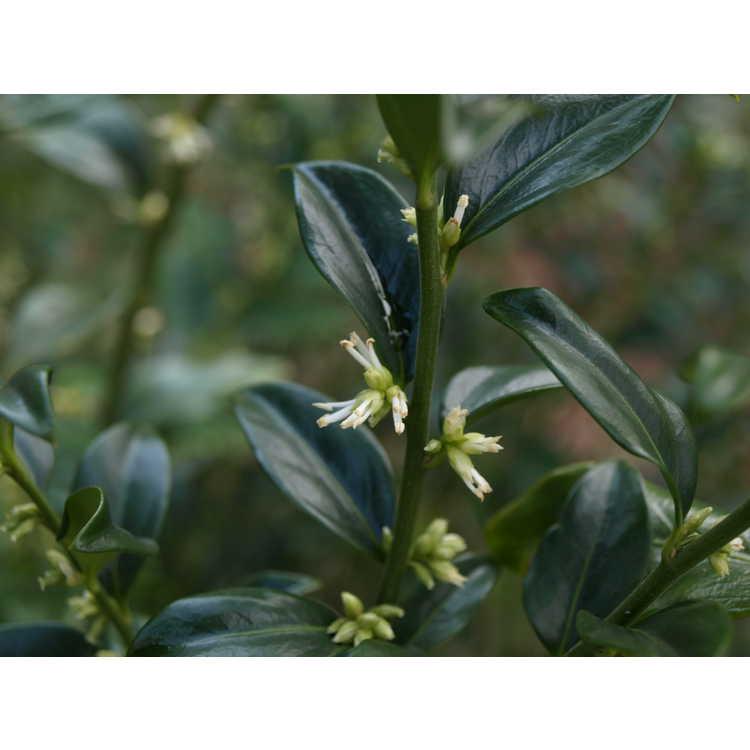 Sarcococca ruscifolia - fragrant sweet box