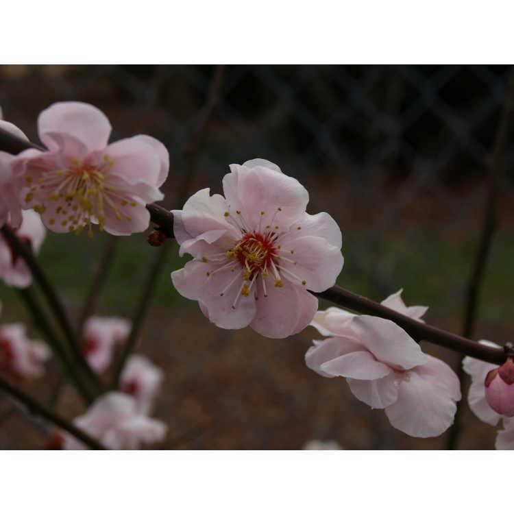 Prunus mume 'Okitsu-akabana' - Japanese flowering apricot