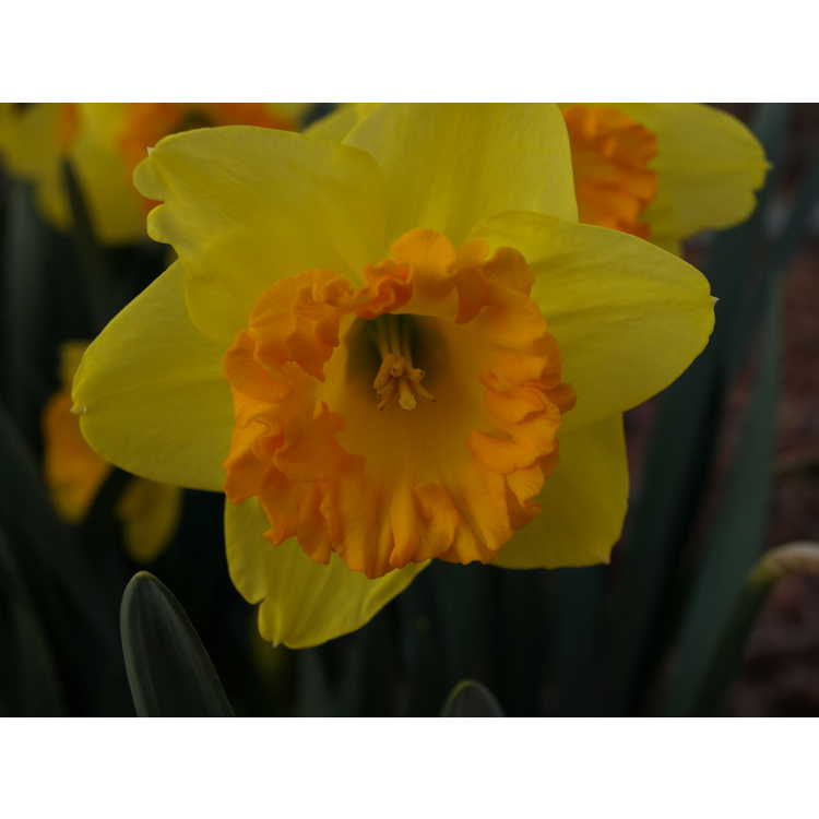 Narcissus 'Orange Frilled'