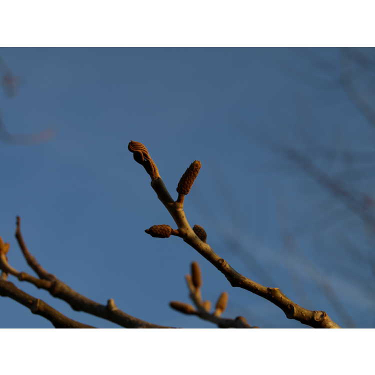 Pterocarya tonkinensis - Tonkin wingnut