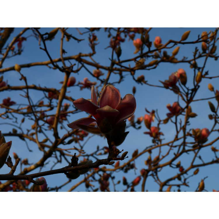 Magnolia denudata 'Forrest's Pink' - pink Yulan magnolia
