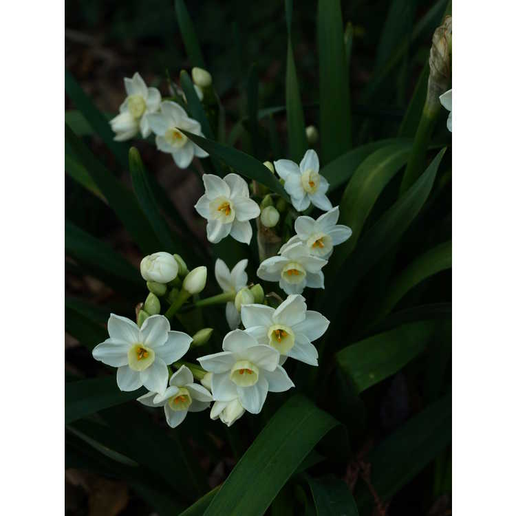 Narcissus Scilly White