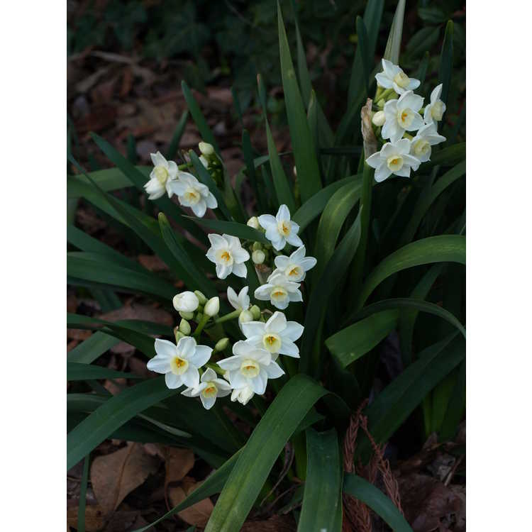 Narcissus 'Scilly White'