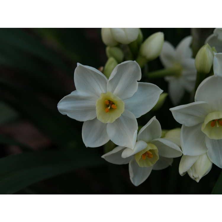 Narcissus 'Scilly White' - tazetta daffodil
