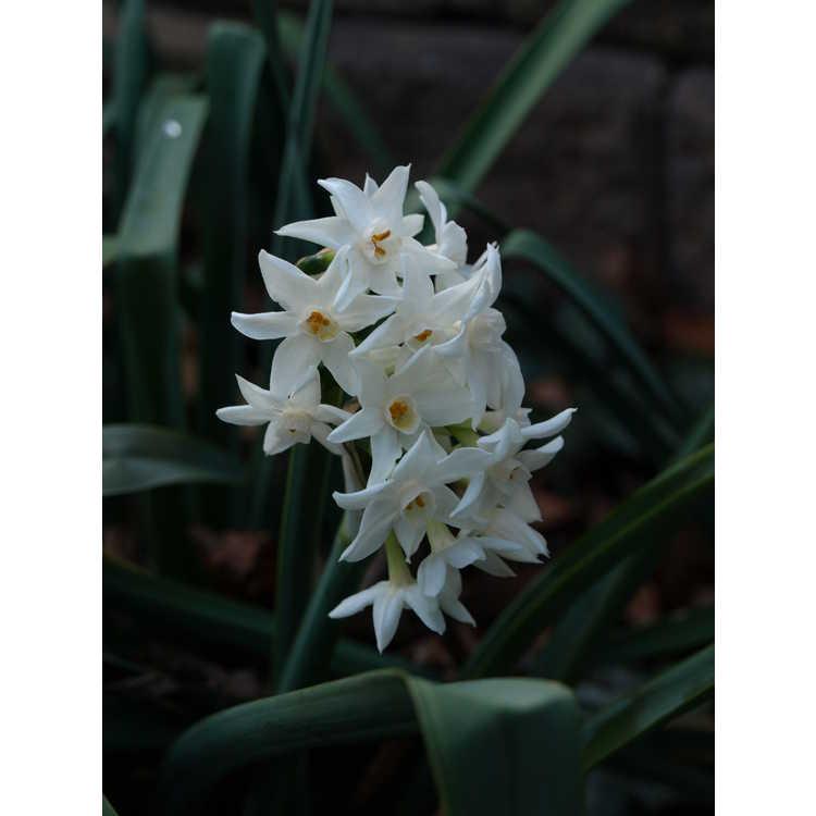 Narcissus papyraceus - paper-white narcissus