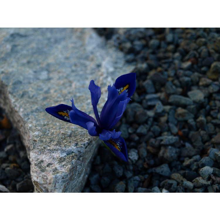 Iris [Reticulata Group] 'Harmony' - netted iris