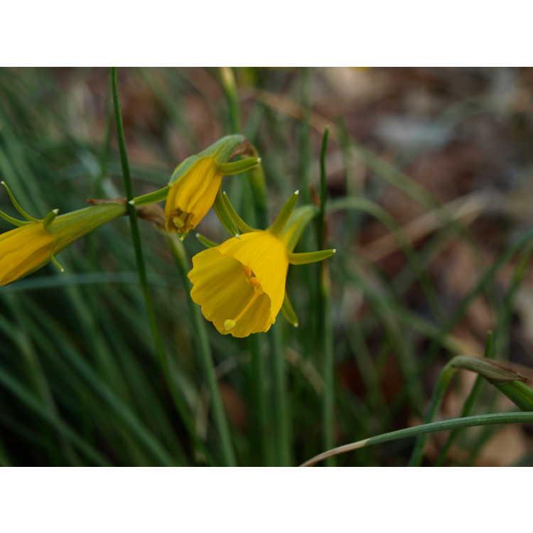 Narcissus bulbocodium var. conspicuus
