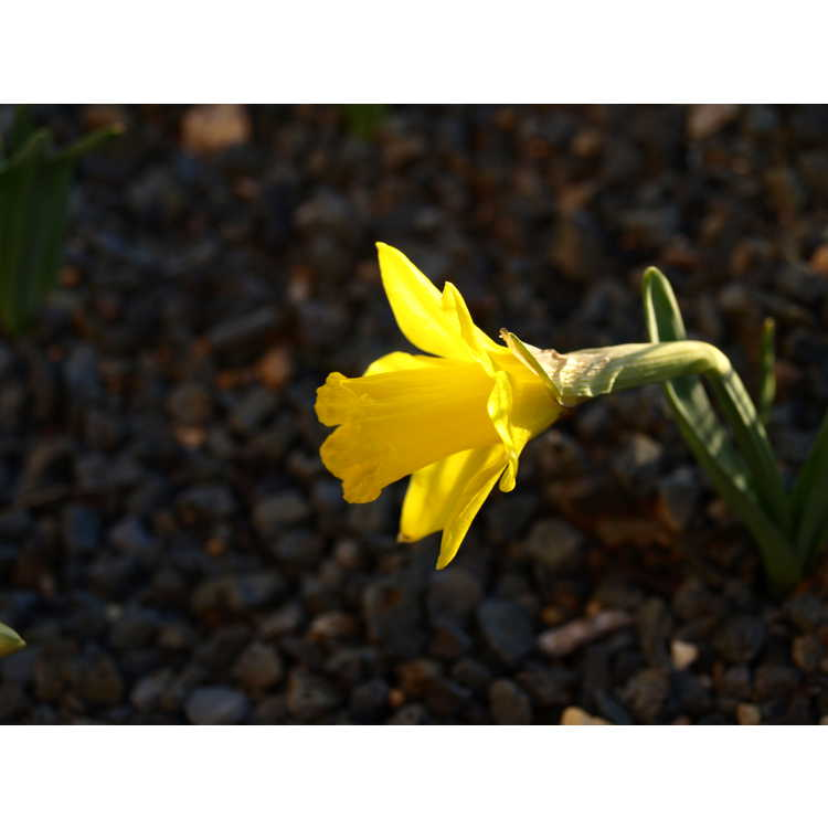 Narcissus 'Little Gem'