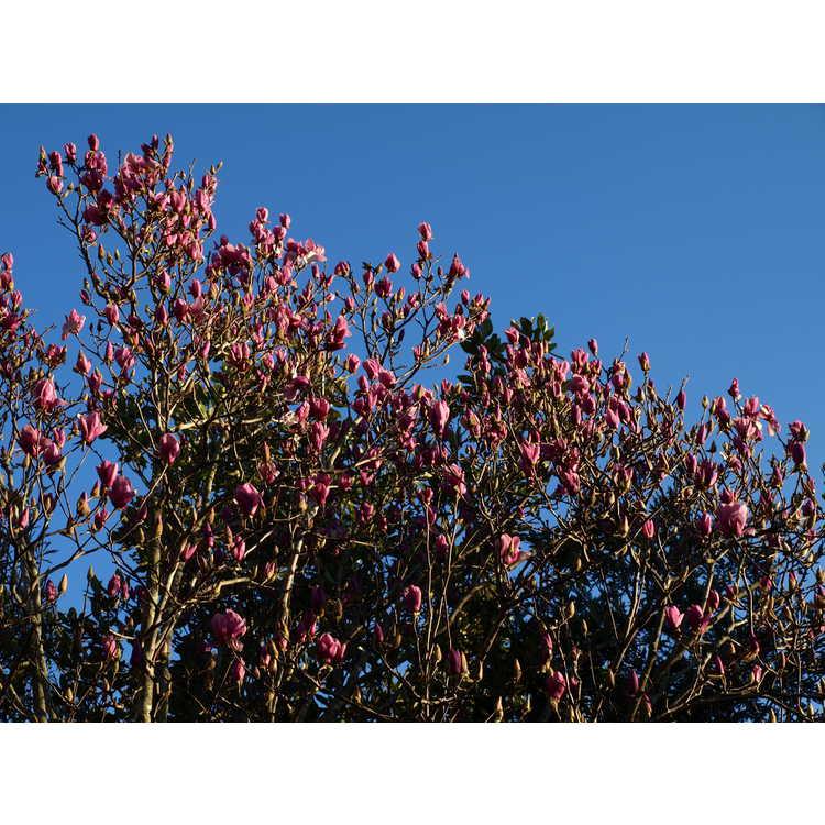 Magnolia ×soulangeana 'Coates' - saucer magnolia