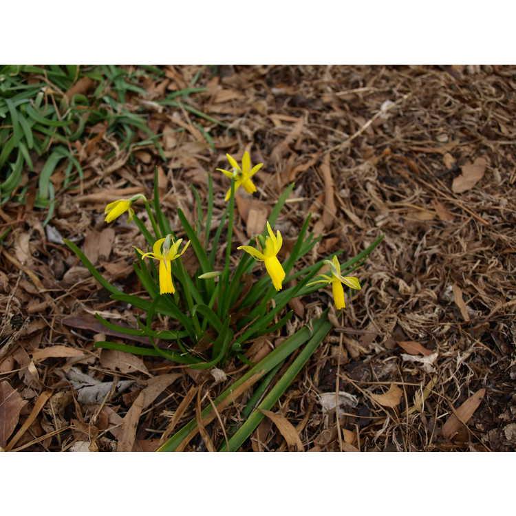 Narcissus Mite