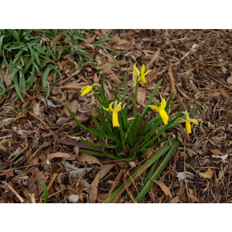 Narcissus 'Mite' - cyclaminius daffodil