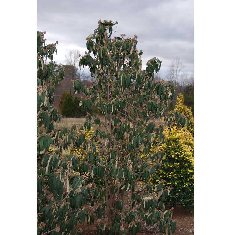 Viburnum rhytidophyllum 'Fence Line'